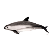 Porpoise drawing vaquita. Mexican by spreadshirt