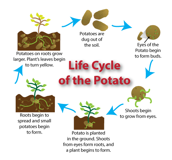 Potatoes drawing biology. Potato plant stages to