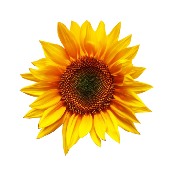 Sunflower clipart watercolor. Yellow flower png images