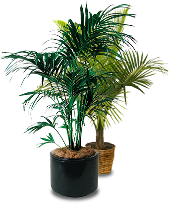 Potted palm tree png. Welcome to palmtraders trees