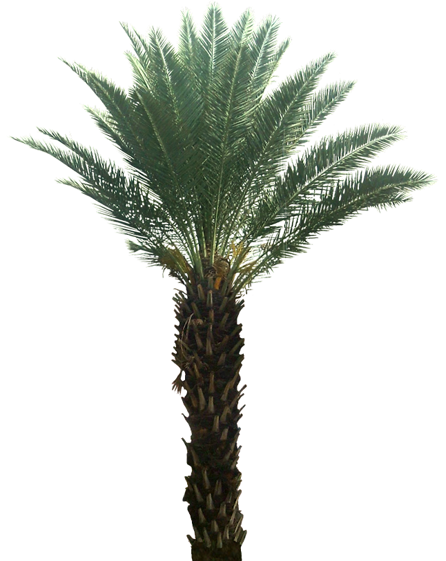 Potted palm tree png. A collection of tropical