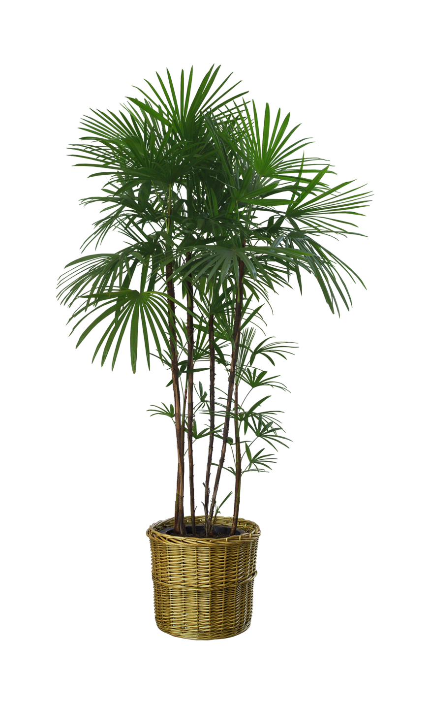 Potted palm tree png. Flowerpot houseplant garden trees
