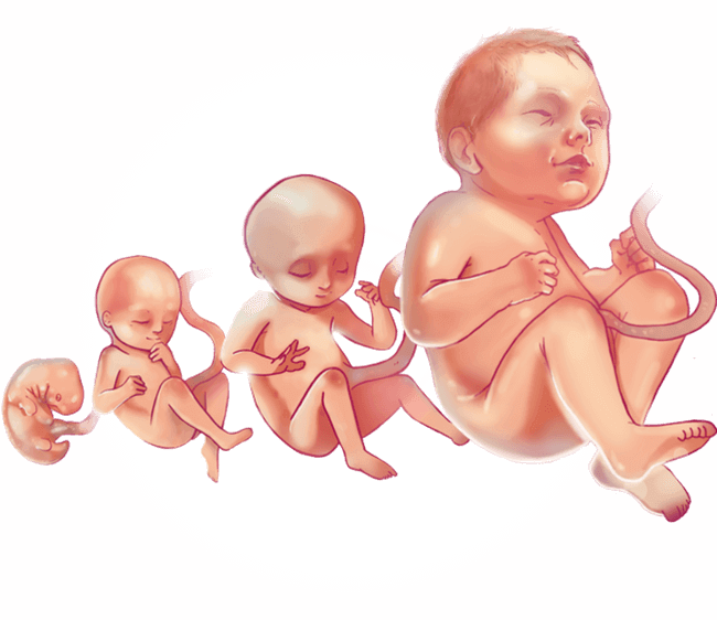 Pregnancy clipart pregnancy stage. Fetus latin images gallery