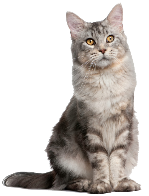pretty cats png