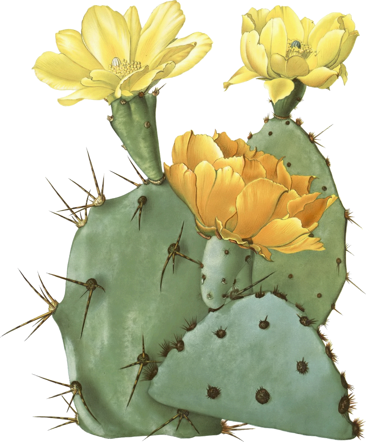 Drawing cactus prickly pear. Opuntia laevis spineless tulip