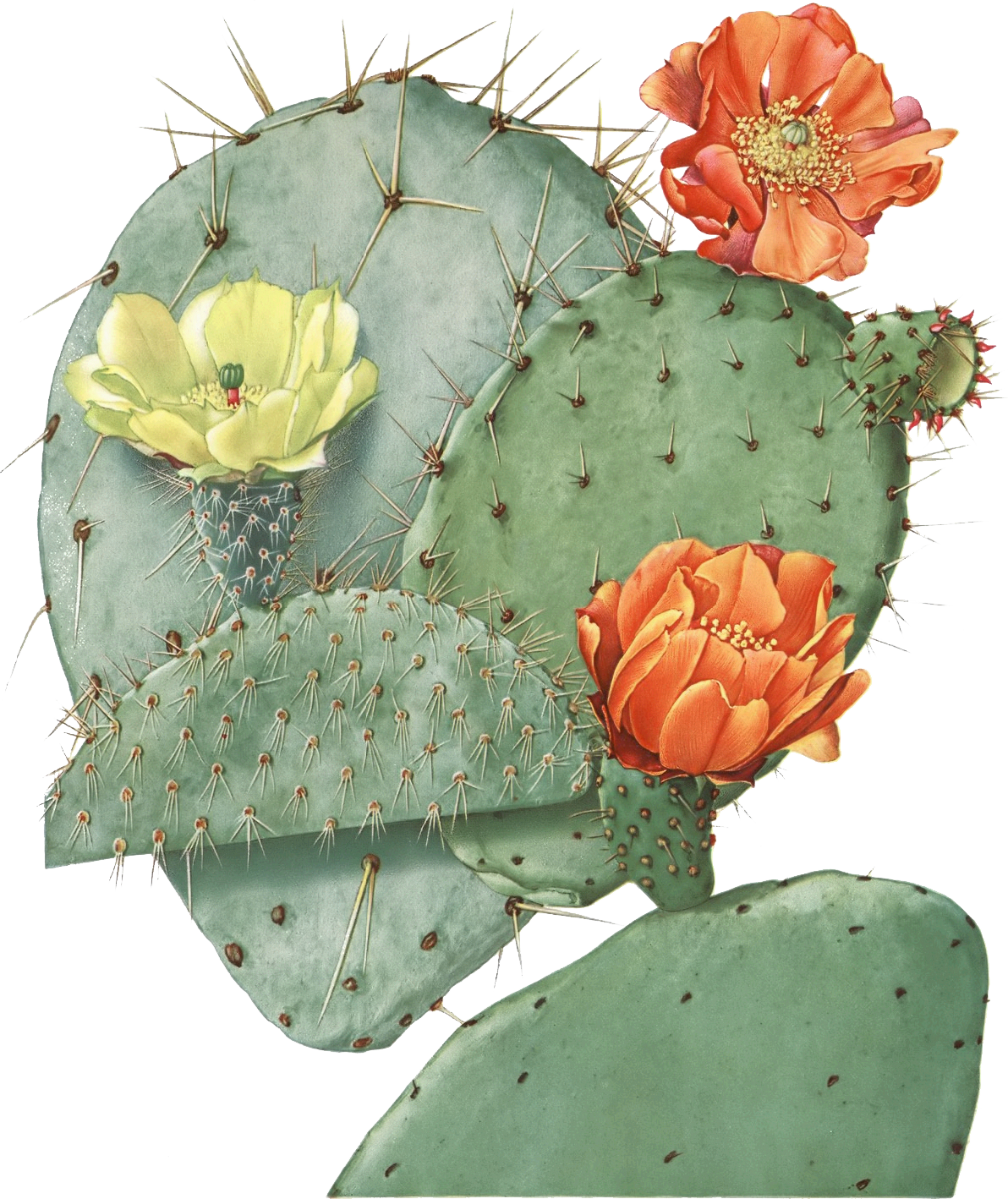Drawing cactus prickly pear. Image result for illustration