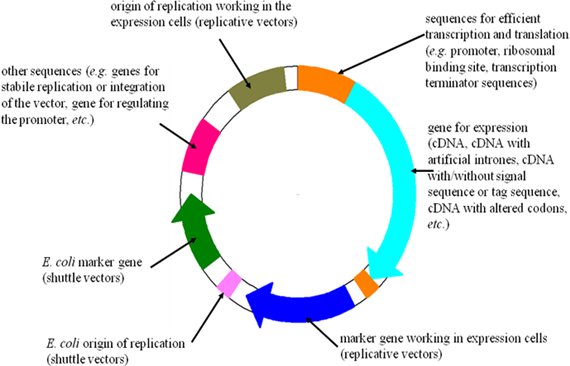 Pet28 vector eukaryotic expression. Protein biotechnology digit lis