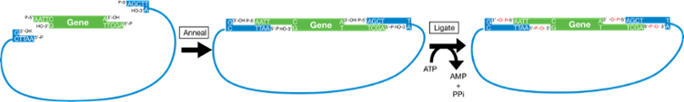 Prset vector simple. Plasmids restriction cloning ligation