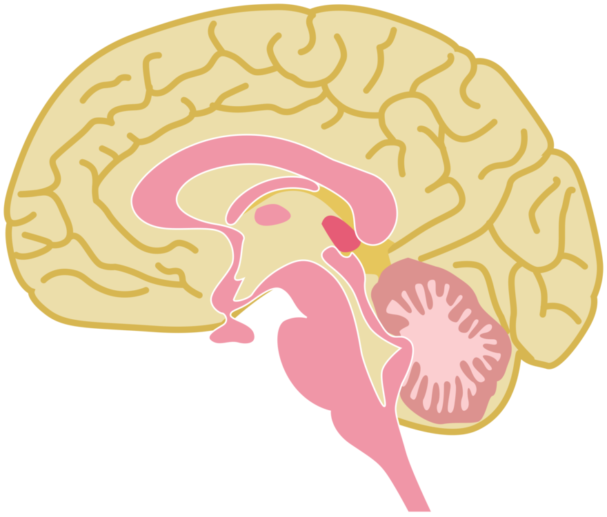 Public clipart human. Brain drawing domain free