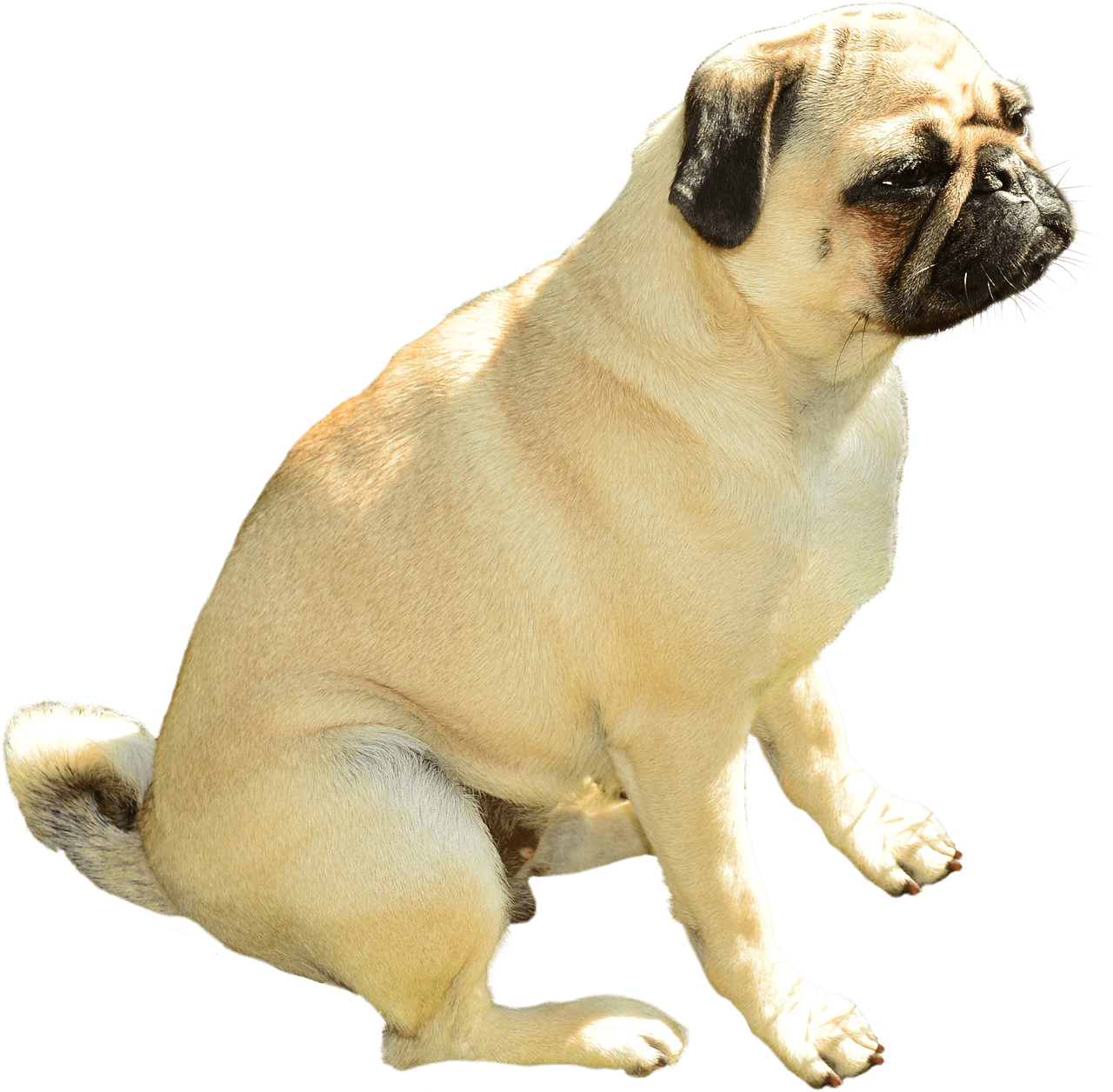 Pug head png. Transparent stickpng