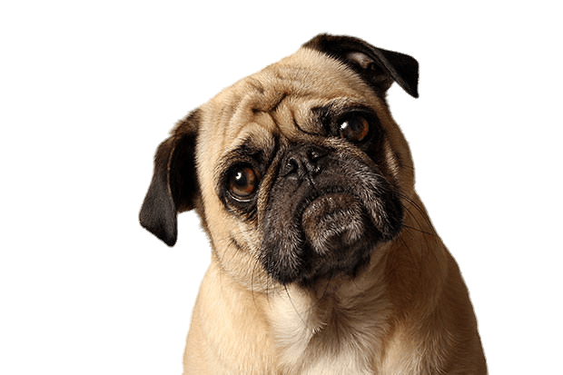 Pug head png. Tilted transparent stickpng animals
