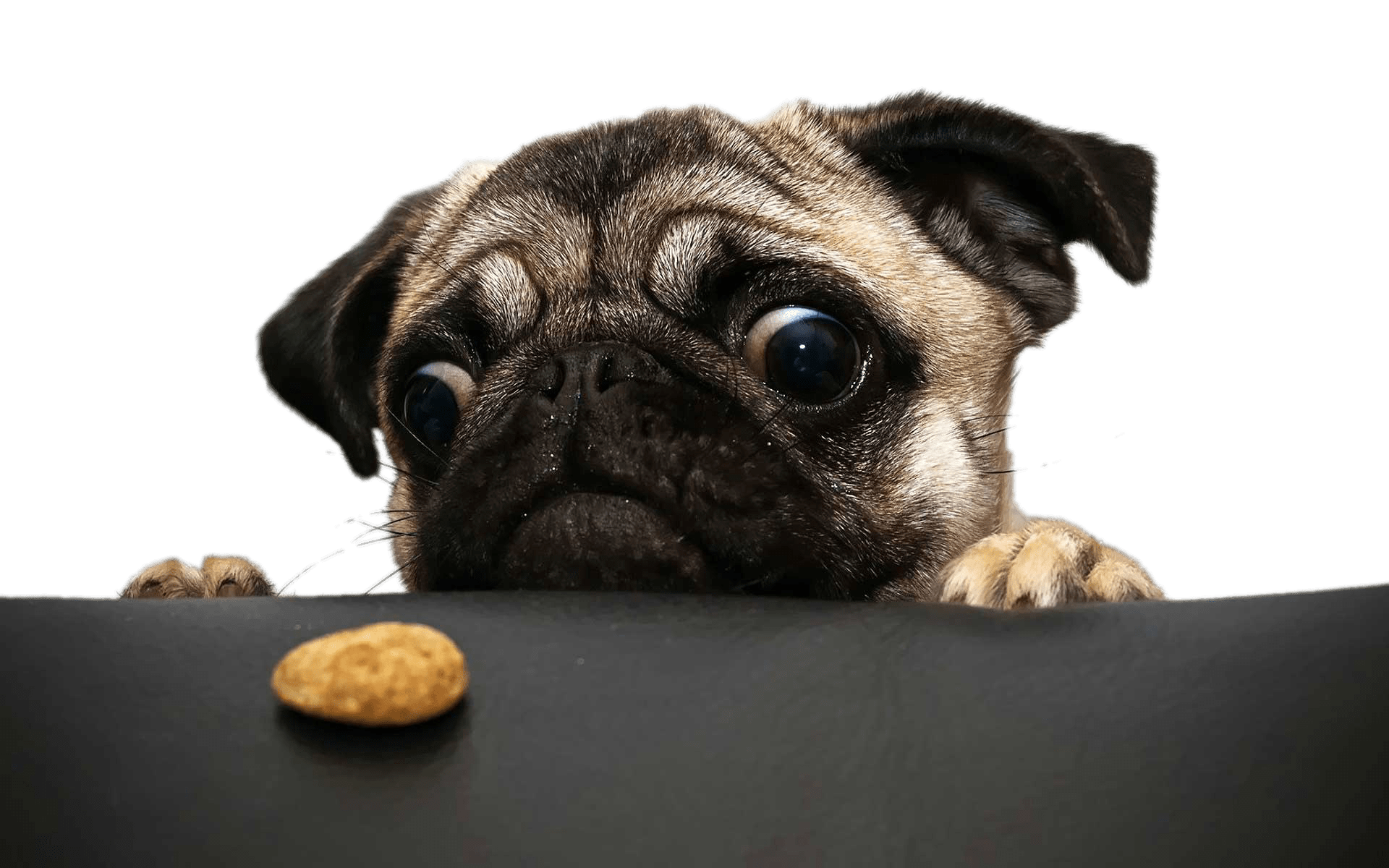 Pug png. Looking at cookie transparent