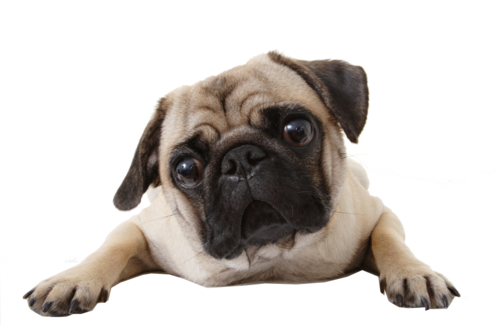 Pug png. Perro discovered by melaniearce