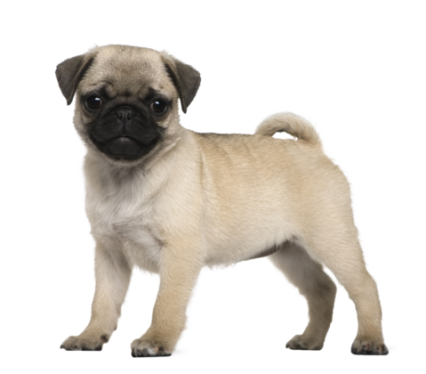 Pug png. Image pugerson the from