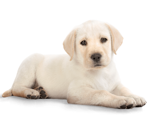 Images transparent free download. Puppy png clip art royalty free
