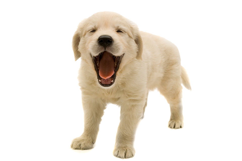 golden retriever puppy png