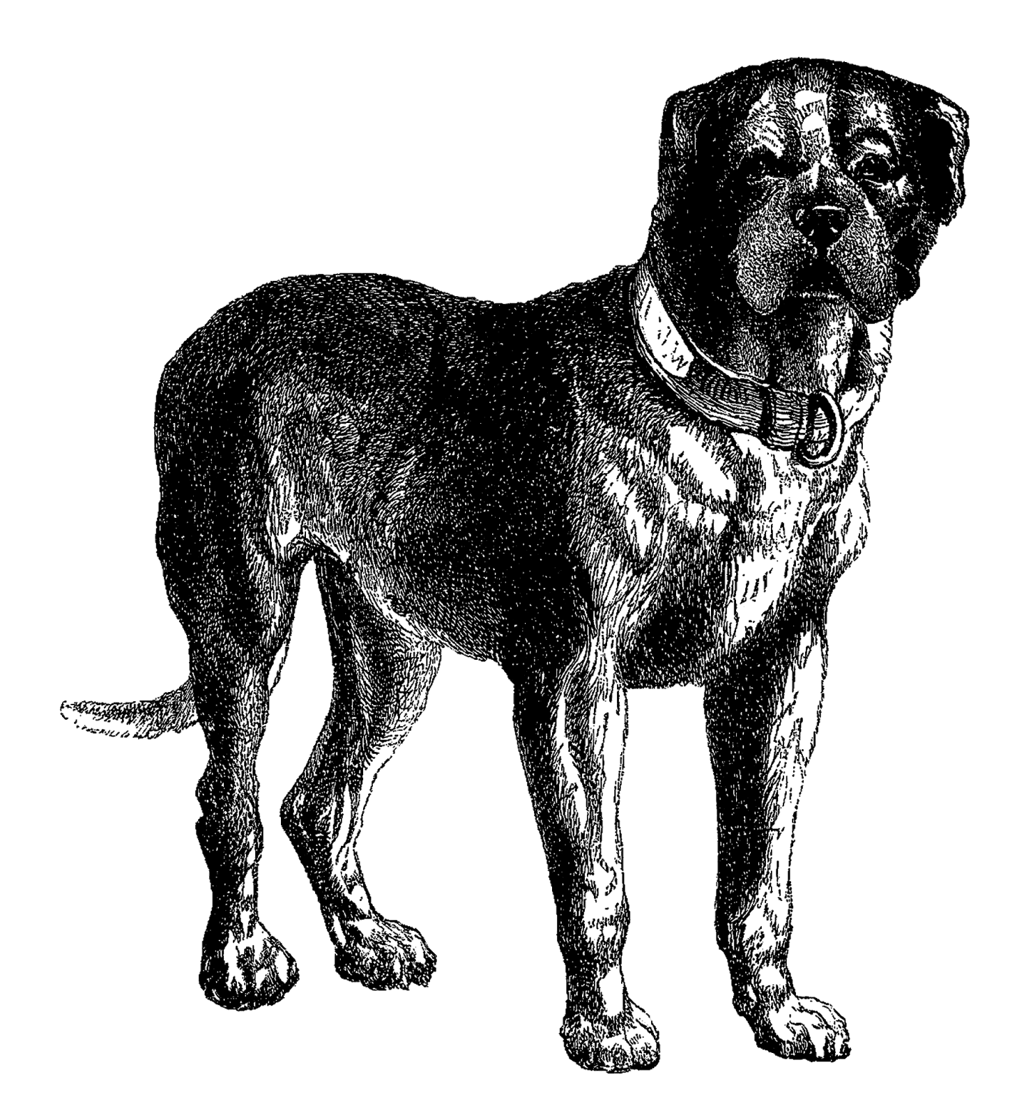 Mastiff drawing french. Free dog cliparts download