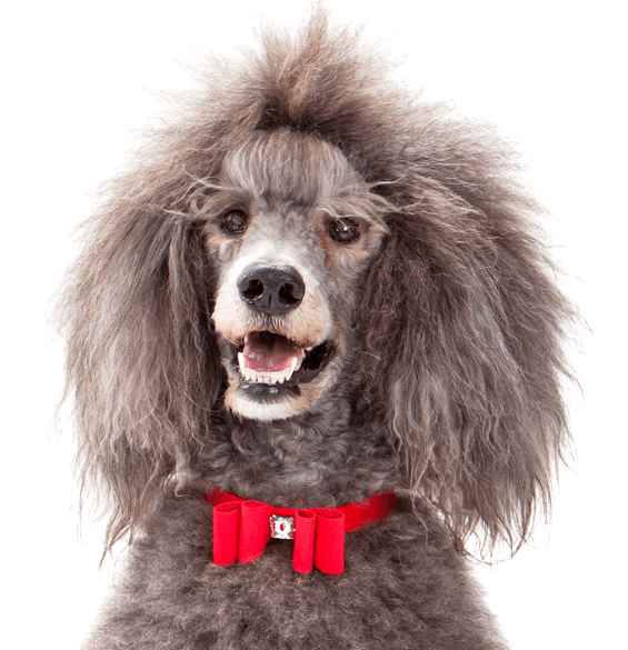 Poodle clip labradoodle. Standard puppies dogs search