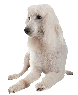 Puppy clip standard poodle. Dog breed profile and