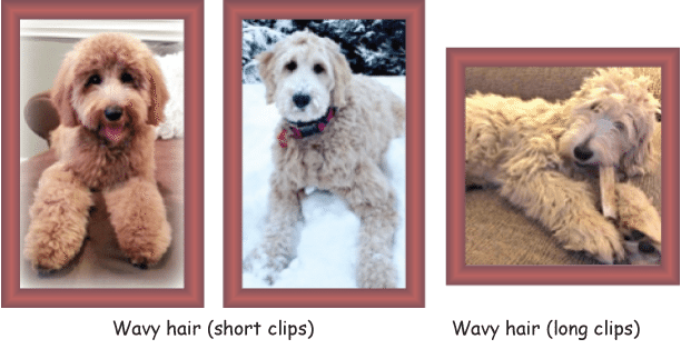Puppy clip standard poodle. Goldendoodle coat types and