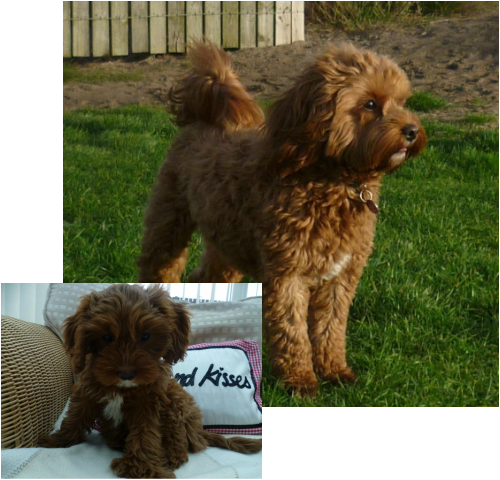 Puppy clip toy poodle. Before and after the