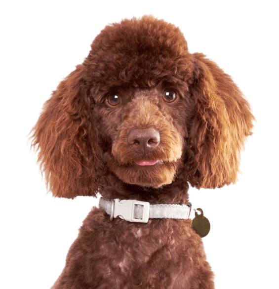Poodle clip hair. Miniature puppies dogs