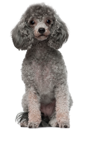 Puppy clip toy poodle. Dog breed questionnaire selector