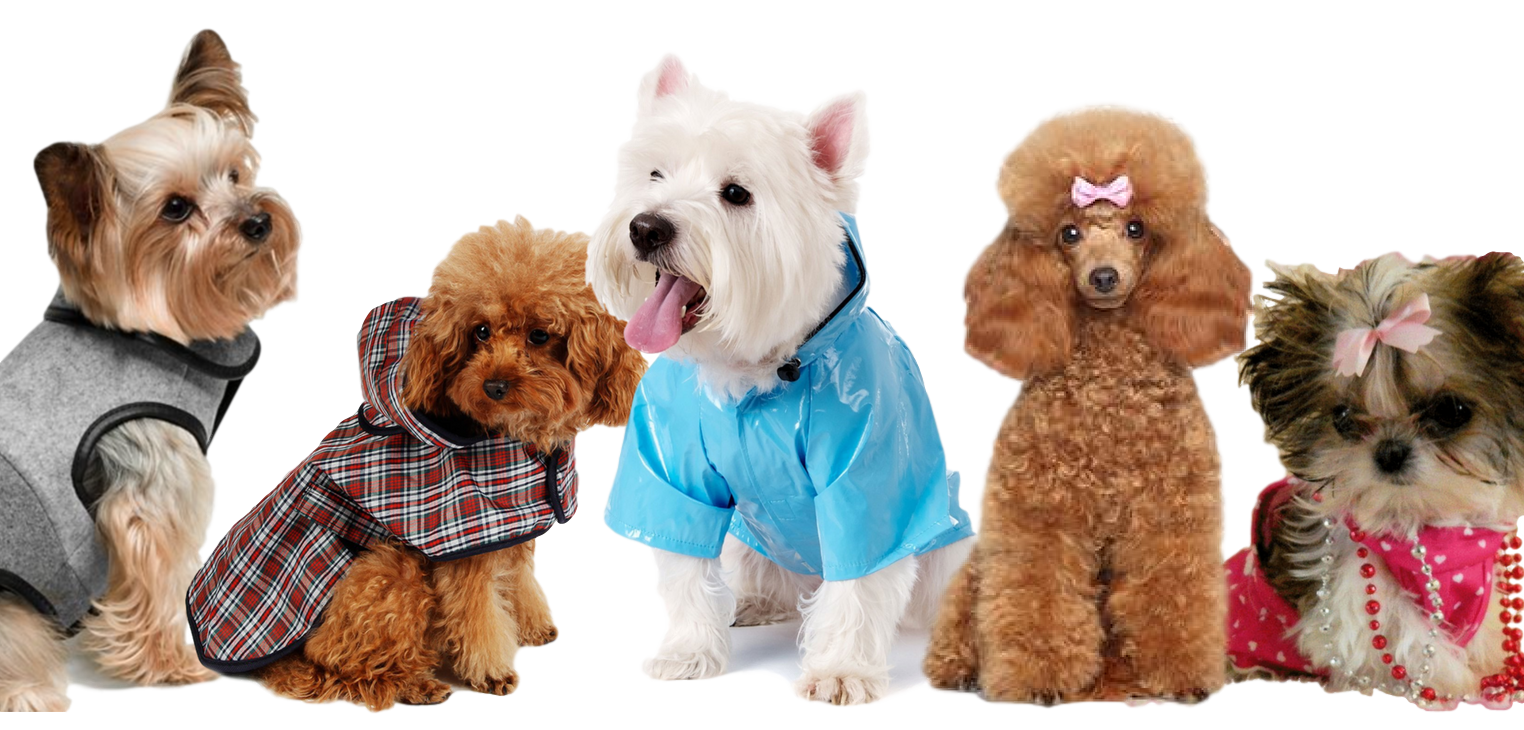 Puppy clip toy poodle. Home k cafe professional