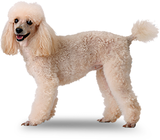 Poodle clip grooming. Dog breeds cuts dogs