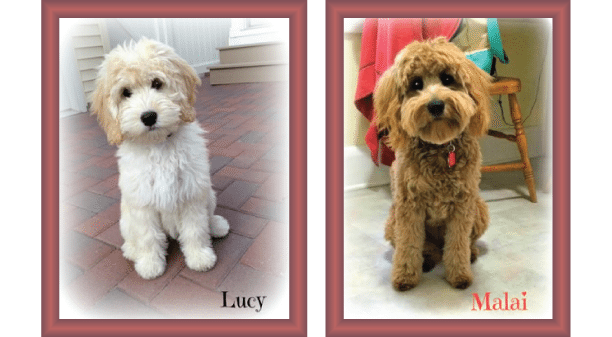 Puppy clip toy poodle. Goldendoodle coat types and