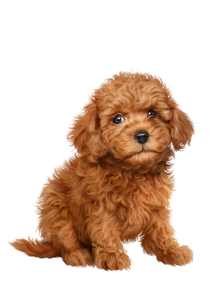 Puppy clip toy poodle. Chien chiot dog dogs