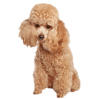 Puppy clip toy poodle. Breed major concerns for
