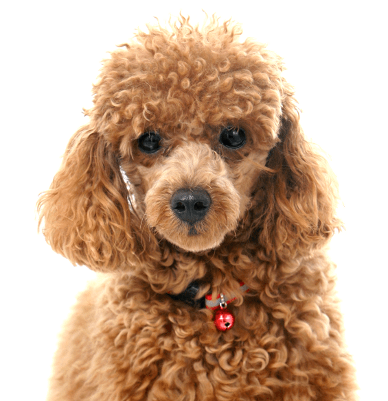 Poodle clip maltipoo. Toy or tea cup