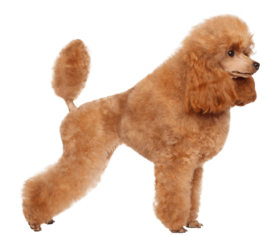 Puppy clip toy poodle. Dog breed facts and