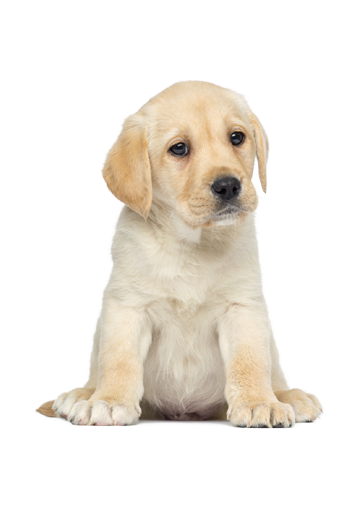 Puppy png. Transparent images pluspng product