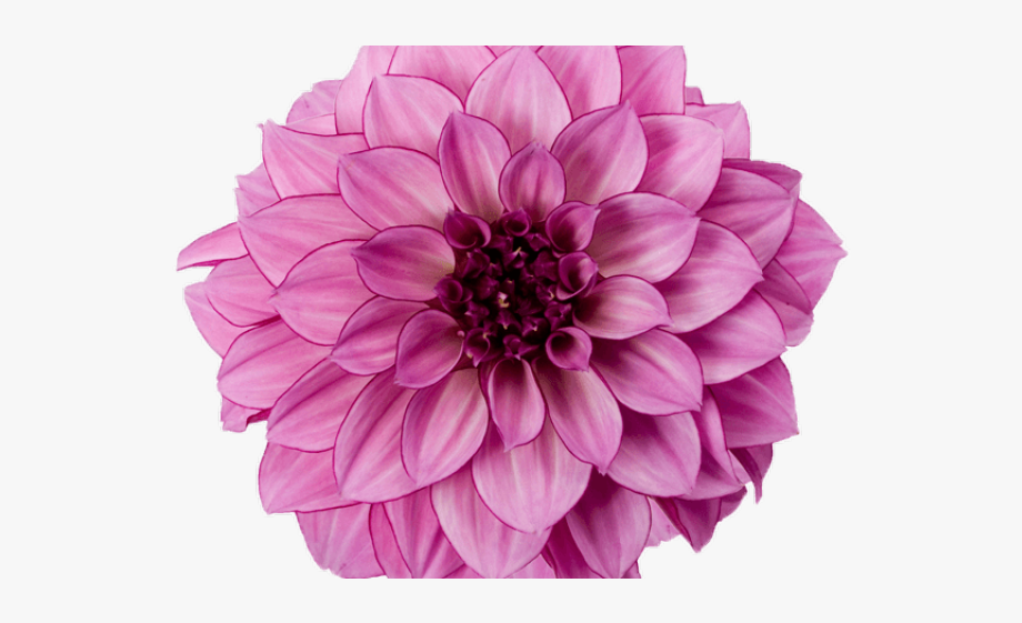 Purple orange. Dahlia clipart flowers flower