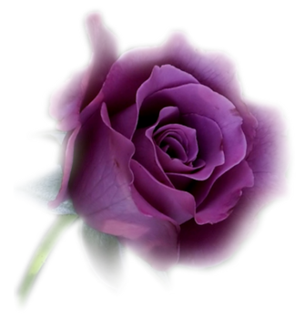 Purple rose png. Flower transparent pictures free