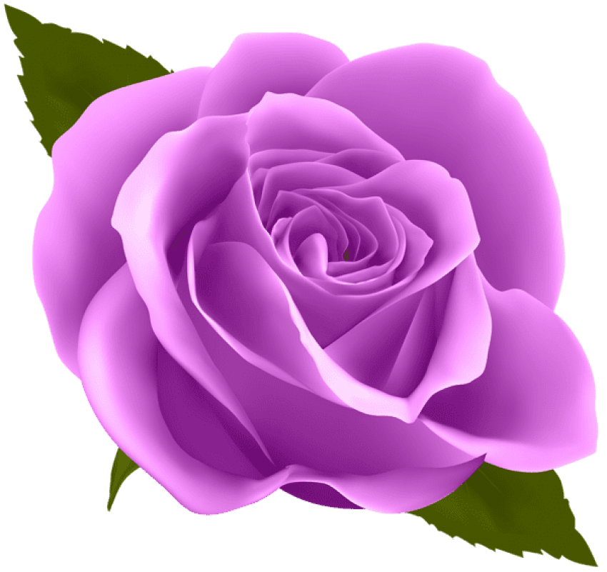Purple rose png. Free images toppng transparent