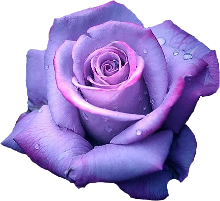 Purple rose png. Transparent pictures free icons