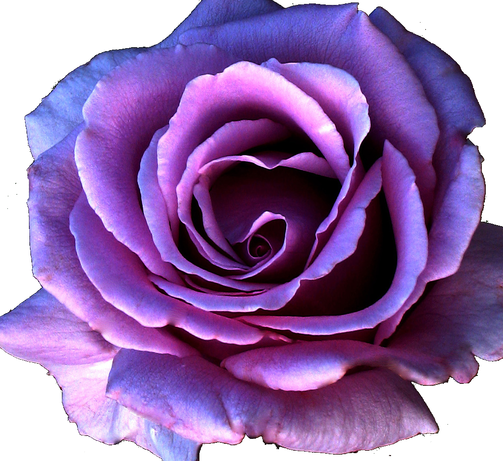 Purple roses png. Flower transparent pictures free
