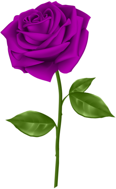 Purple roses png. Rose free images toppng