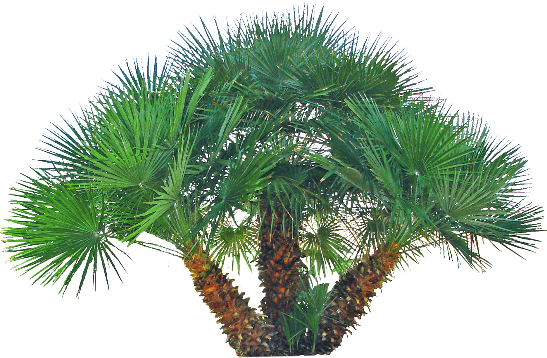 Pygmy date palm png. Backyard builder mediterranean fan