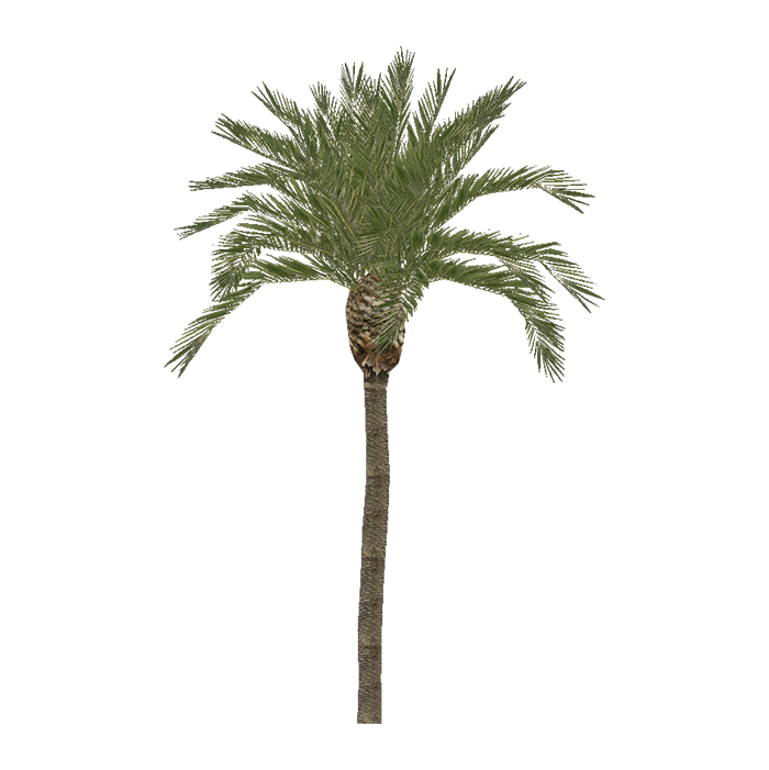 Pygmy date palm png. Image zt download library