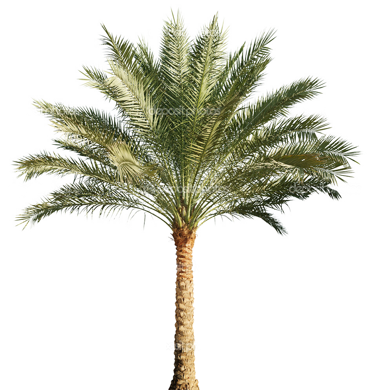 Pygmy date palm png. Arecaceae stock photography tree