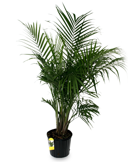 Pigmy palm png. Alpha botanical majesty plant