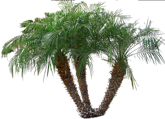 Pygmy palm png. Backyard builder date
