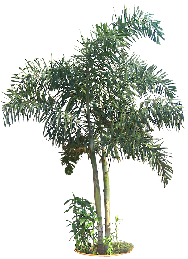 Queen palm png. A collection of tropical