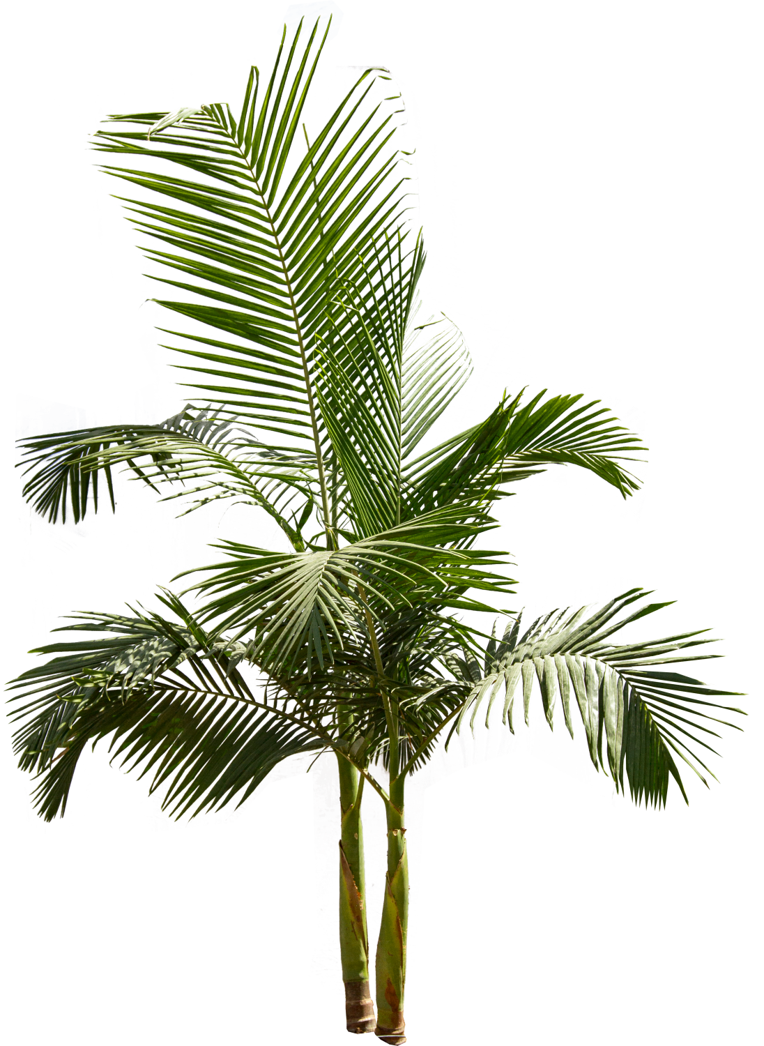 Queen palm png. Backyard builder king