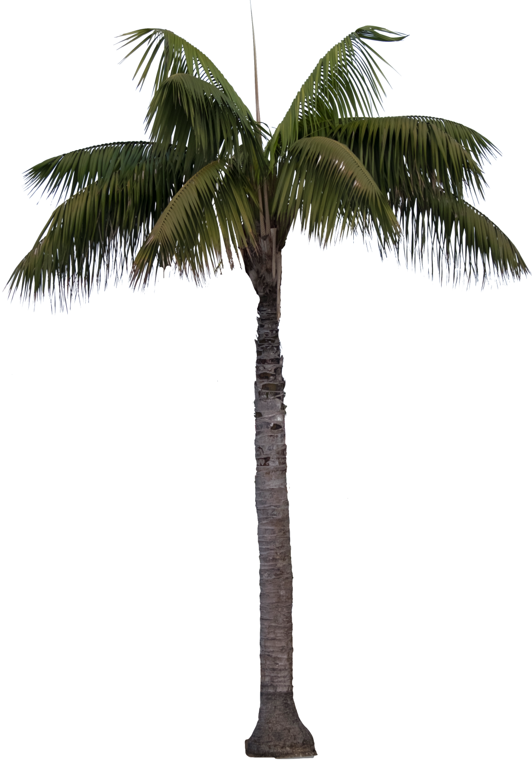 Queen palm png. Backyard builder kentia