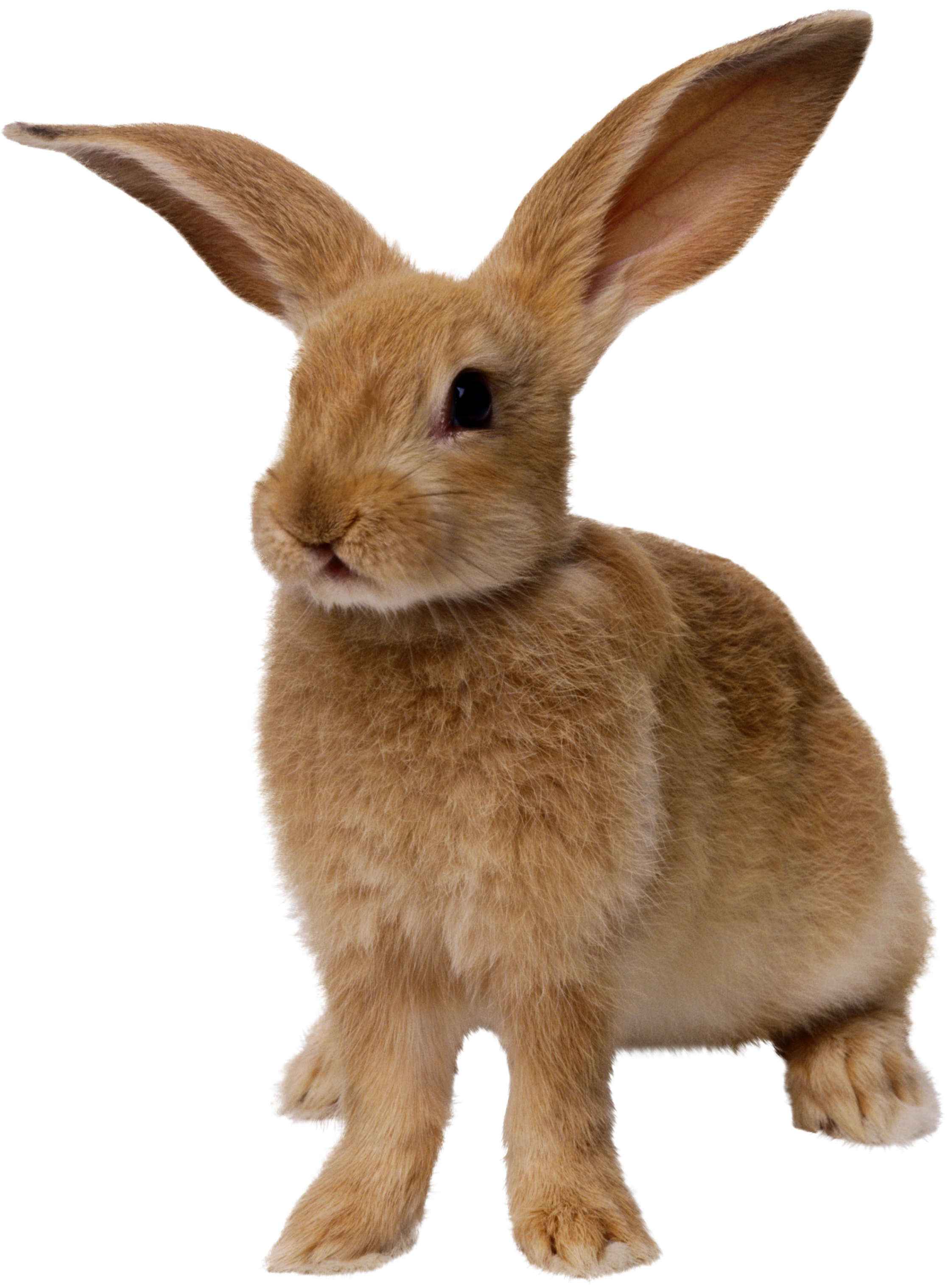 Rabbit clipart realistic. Png images free pictures